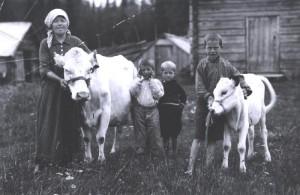 En av de allra första kor som Röda korset lånade ut via distriktets kofond. Upphovsman: Svenska Röda Korset, Föreningsarkivet i Jämtlands län